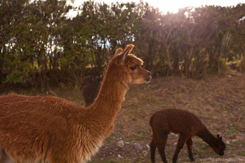 Alpaca, Sacsayhuamán