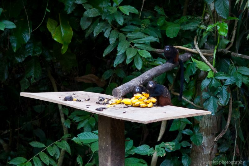 The Lodge Uses Bananas to Attract Monkeys