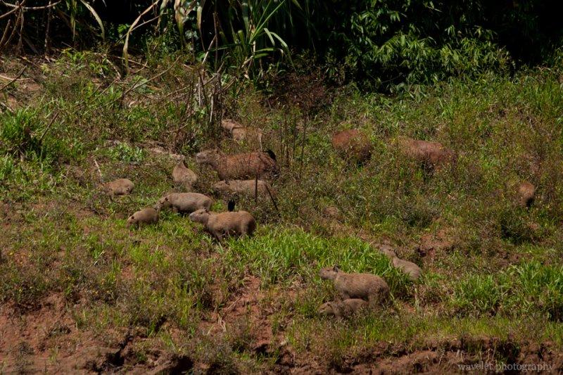 A Capybara Family