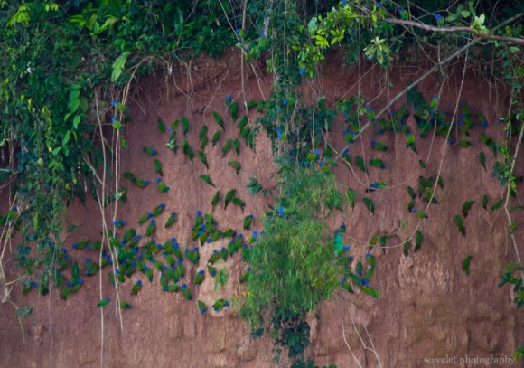 Parrots on the Cliff
