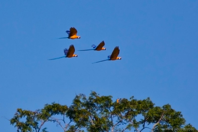 Blue-and-Yellow Macaws are Leaving