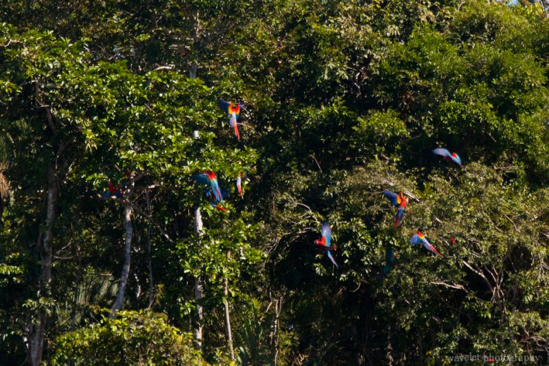 Frightened by Boat Motor, Macaws Went Back to the Tree