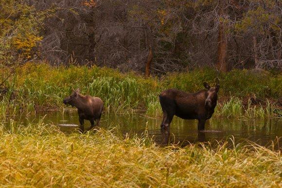 Moose Family, Bear Lake Rd., Rocky Mountain National Park