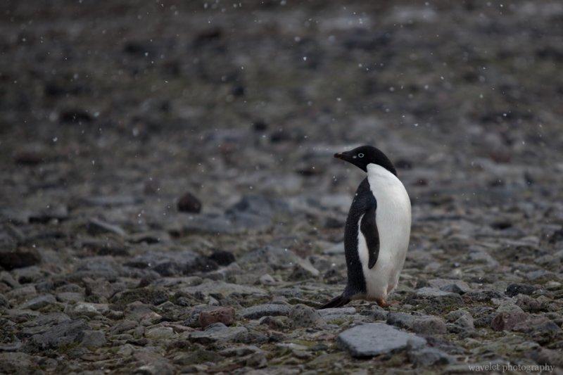 Adélie Penguins, Paulet Island