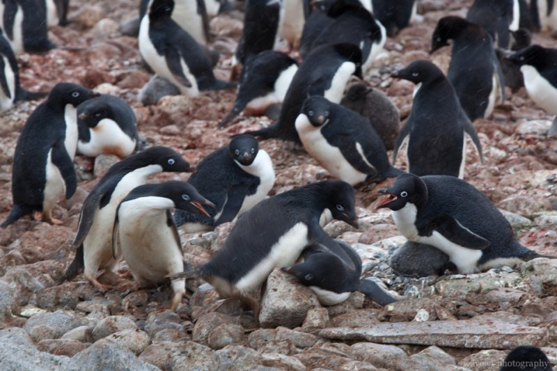 Adélie Penguins Fight, Paulet Island