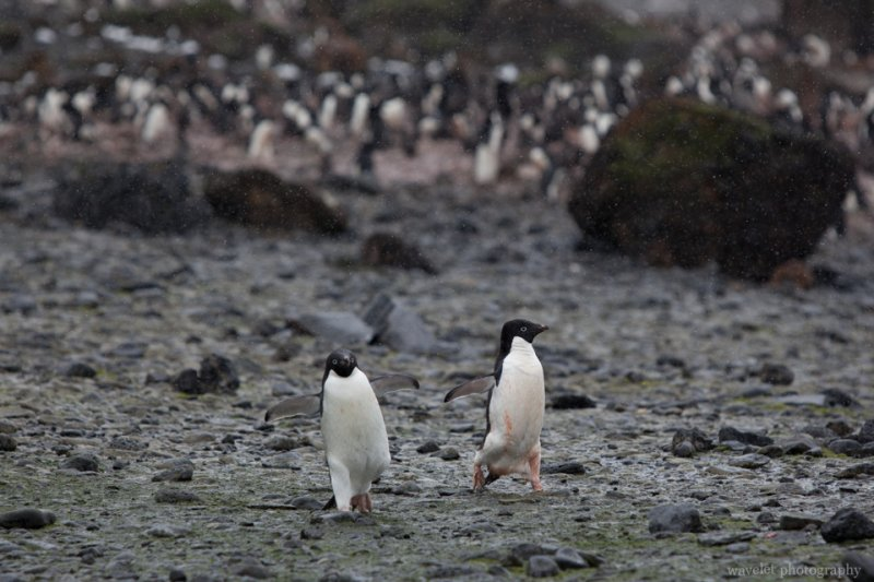 Adélie Penguins, Brown Bluff