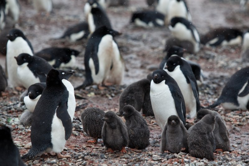 Adélie Penguins' crèche, Brown Bluff