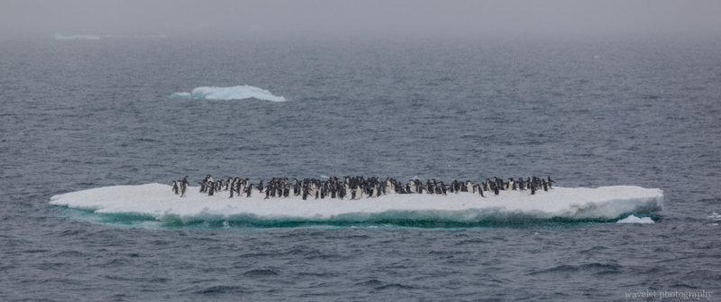 Adélie penguins standing on the flat ice, near Paulet Island