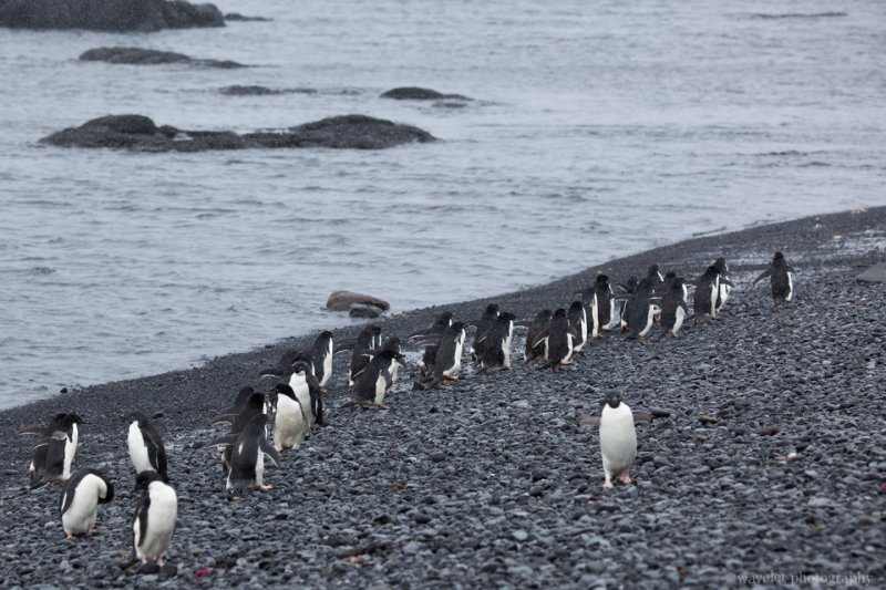 Adélie penguins heading to the sea, Brown Bluff