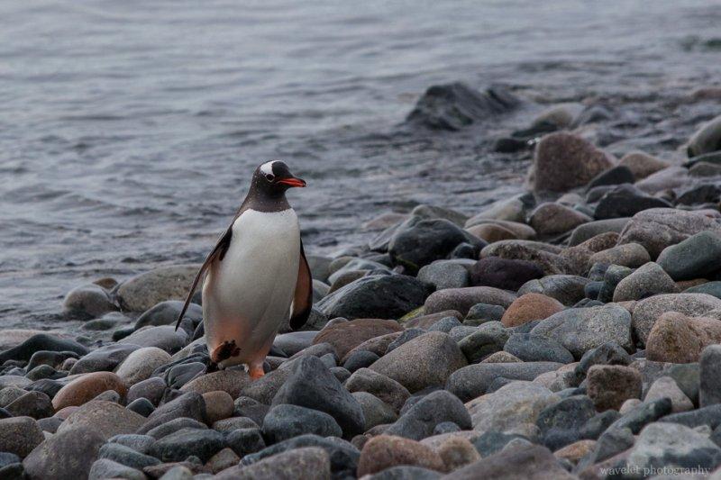 A Gentoo Penguin, Cuverville Island
