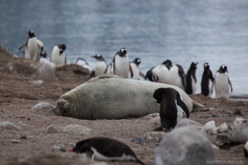 A Weddell Seal on the beach, Neko Harbour