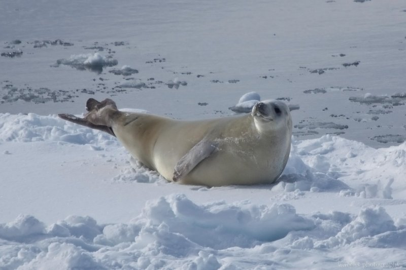 A Leopard Seal at Lemaire Channel, Antarctica