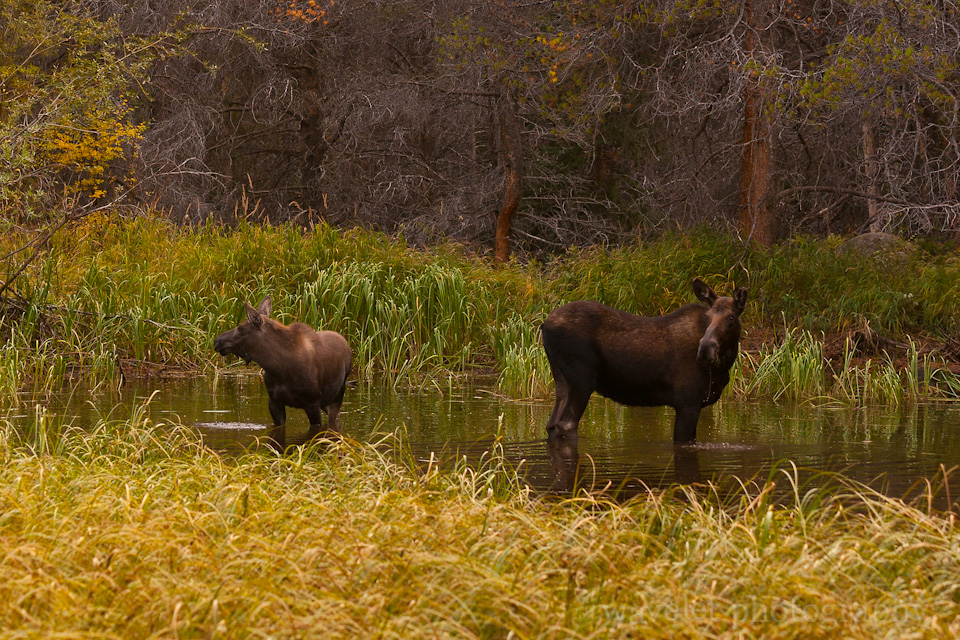 Moose Family, Bear Lake Rd., Rocky Mountain National Park