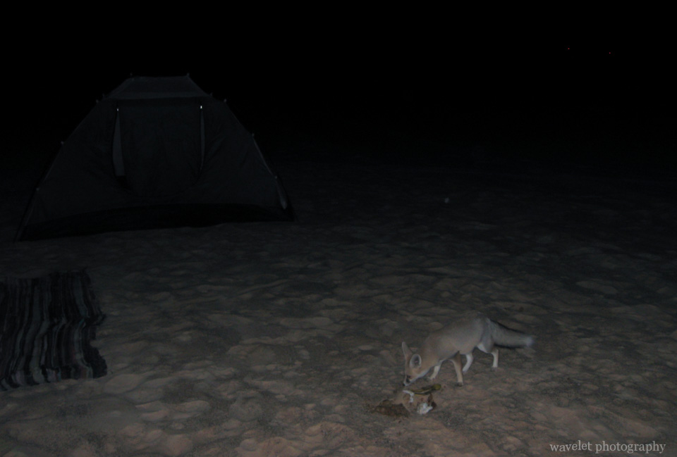 A Fennec Fox Visited Our Camp
