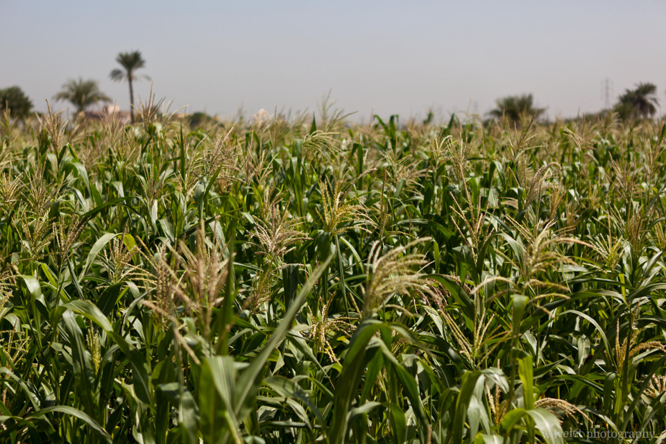 Corn Field in West Bank
