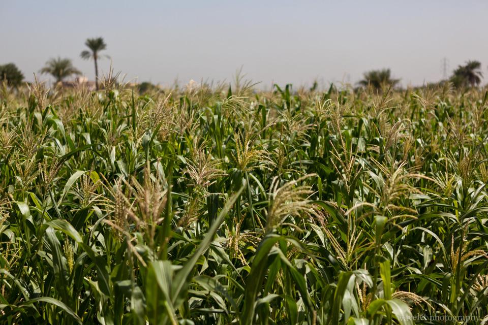 Corn Field in West Bank