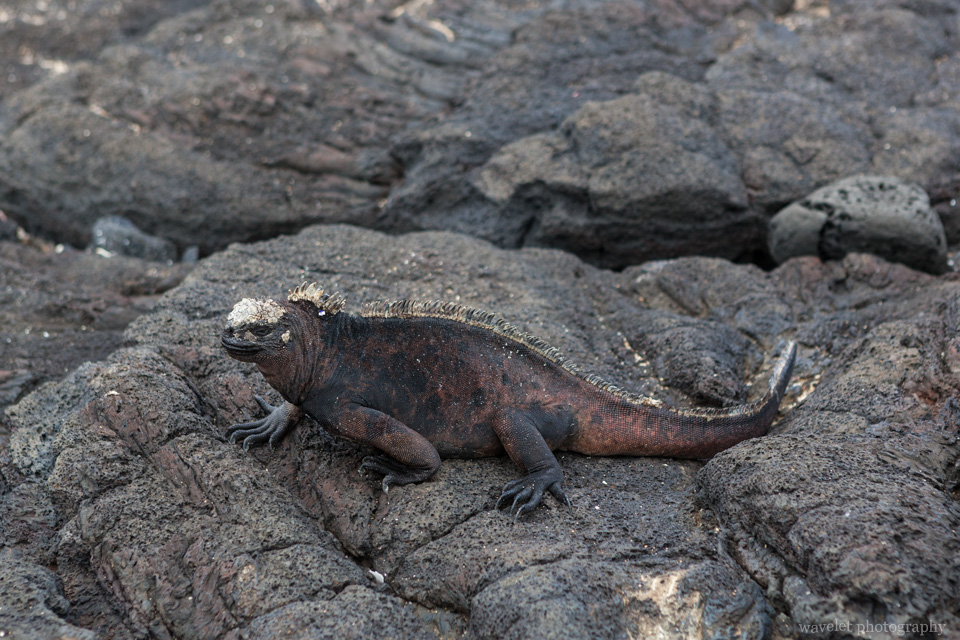 Marine Iguana, Puerto Egas, Santiago Island