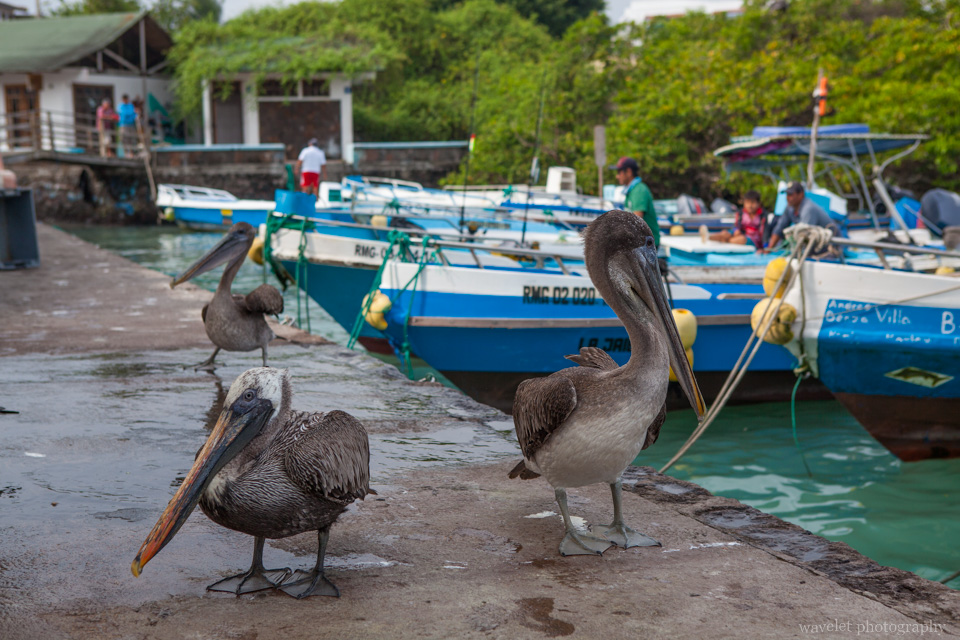Pelicans at the fish market, Puerto Ayora, Santa Cruz Island