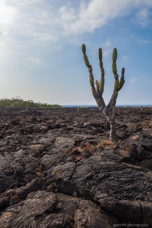 Candelabra Cactus, Punta Moreno, Isabela Island