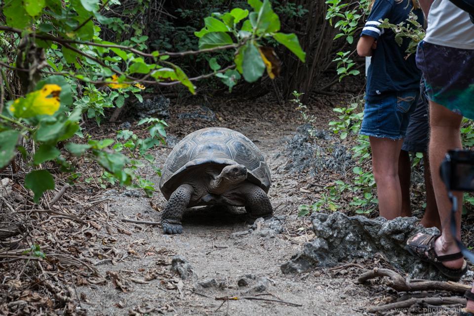 Giant Tortoises, Bahía Urbina, Isabela Island