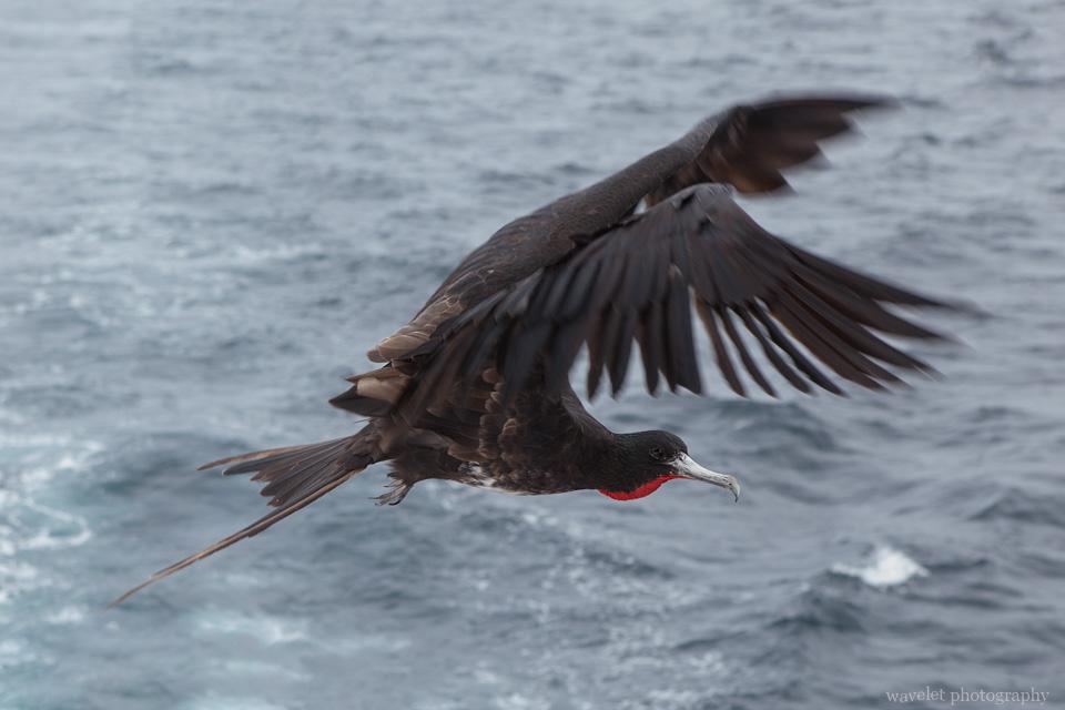 Frigate, en route to Caleta Tagus, near Isabela Island