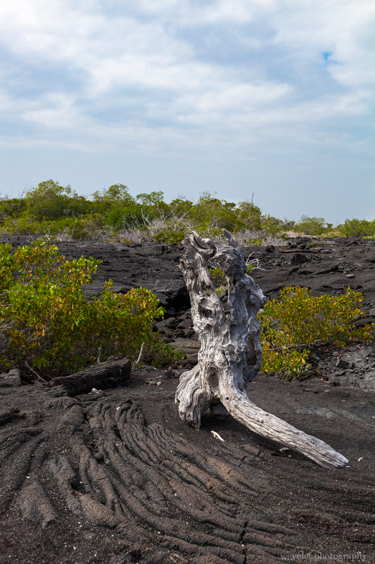 Mangroves on the lava field, Punta Espinoza, Fernandina Island