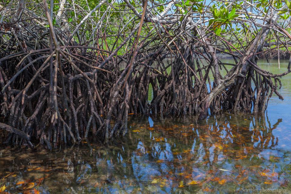 Mangroves roots, Punta Espinoza, Fernandina Island