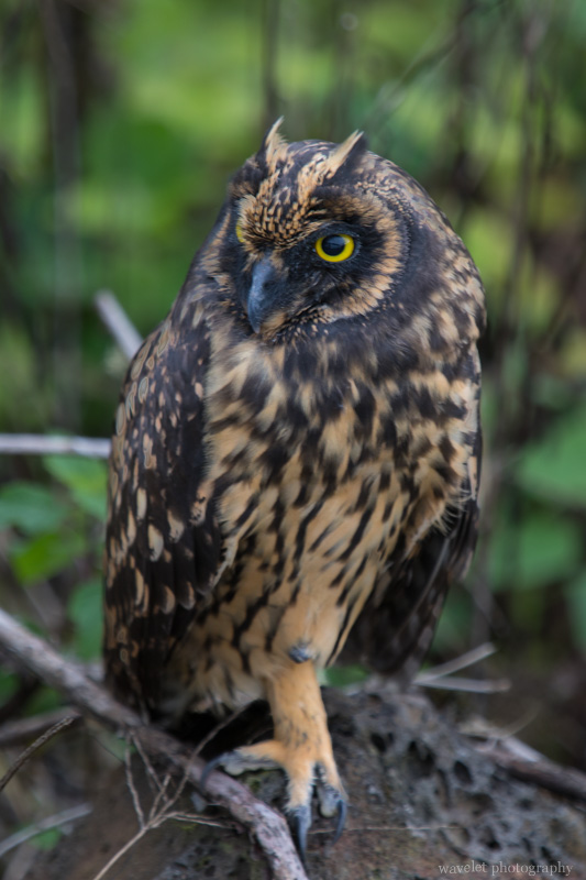 Short-eared owl, Santa Cruz Island