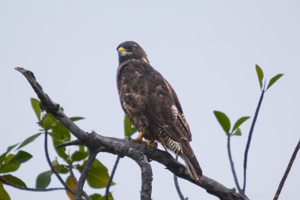 Galapagos Hawk, Punta Mangle, Fernandina Island