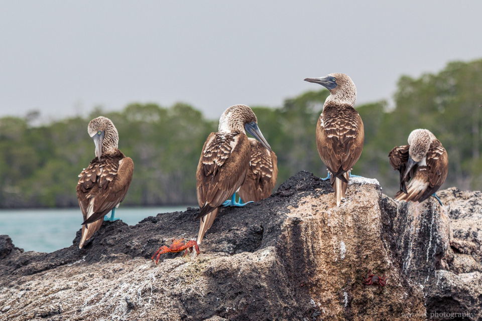 Blue-footed booby, Punta Mangle, Fernandina Island