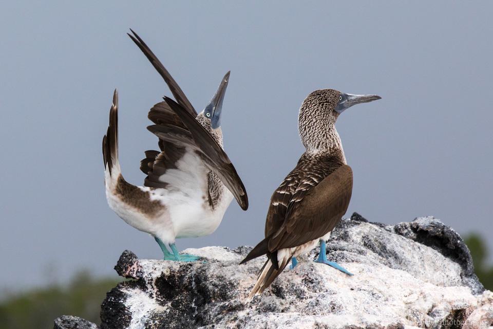 Blue-footed booby, Punta Mangle, Fernandina Island