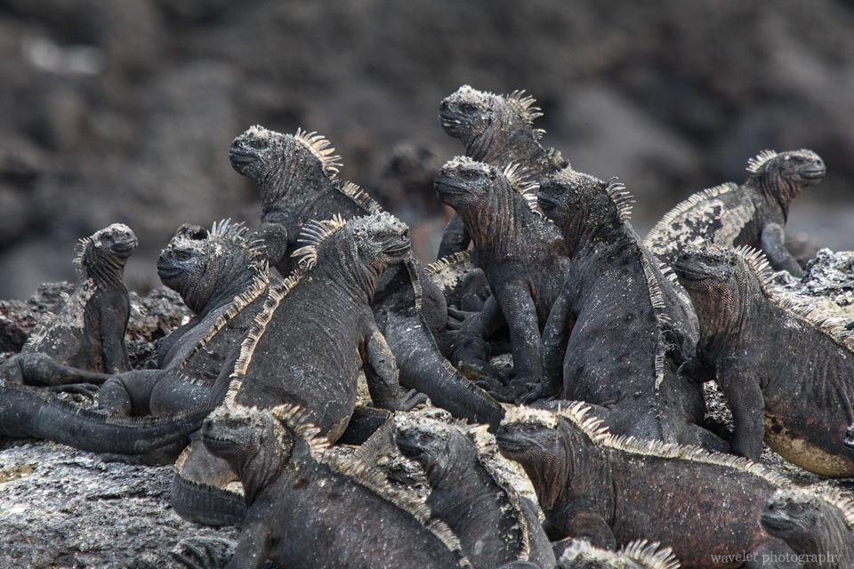 Marine Iguana, Punta Mangle, Fernandina Island