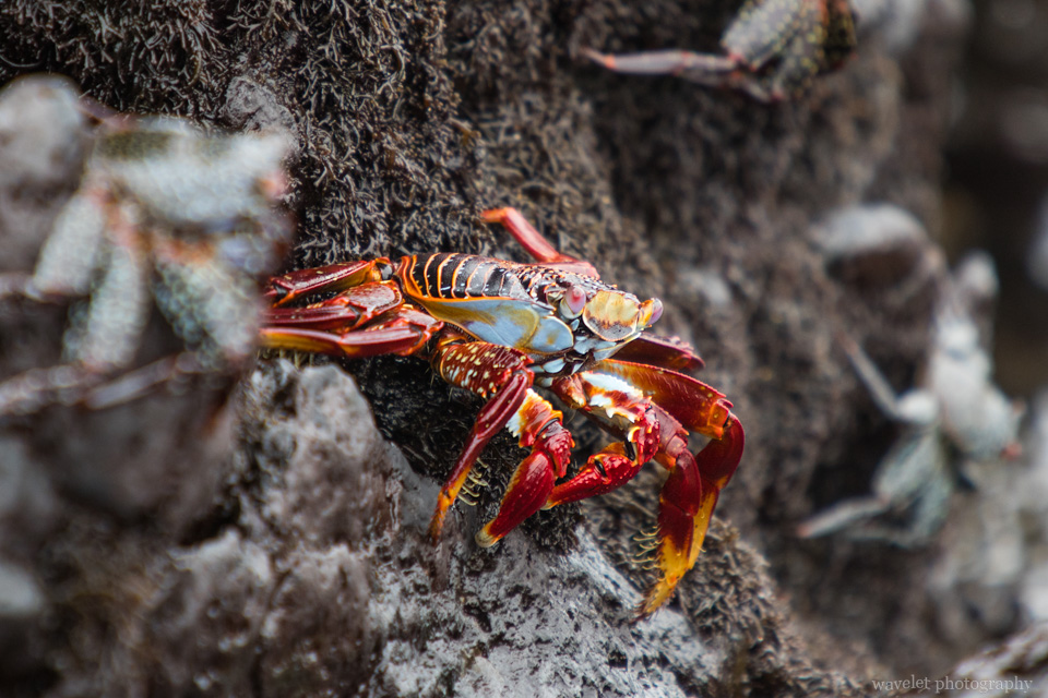 Sally Lightfoot Crab, Bahía Urbina, Isabela Island