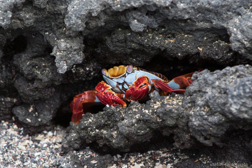 Sally Lightfoot Crab, Punta Espinoza, Fernandina Island