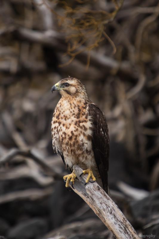 Galapagos Hawk, Espumilla Beach, Santiago Island