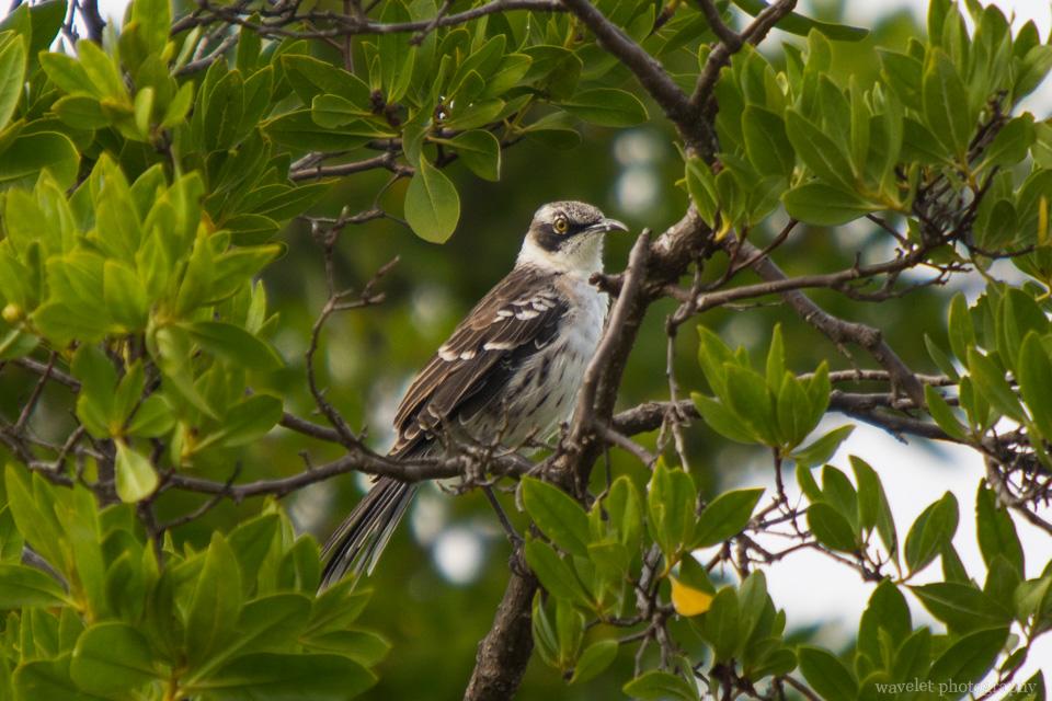Galapagos Mockingbird, Espumilla Beach, Santiago Island