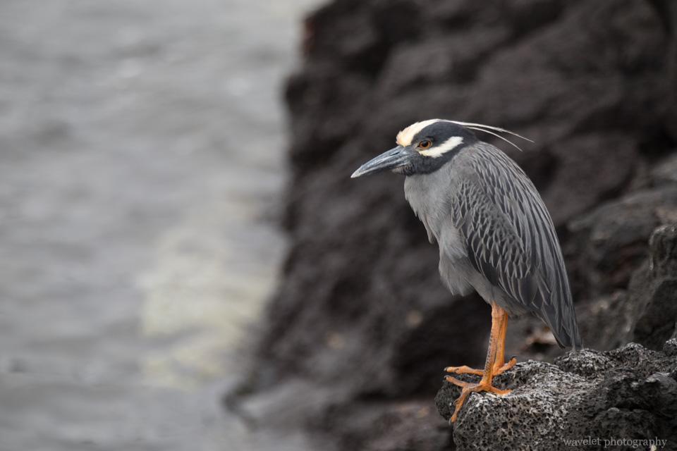 Yellow-crowned Night-heron, Puerto Egas, Santiago Island