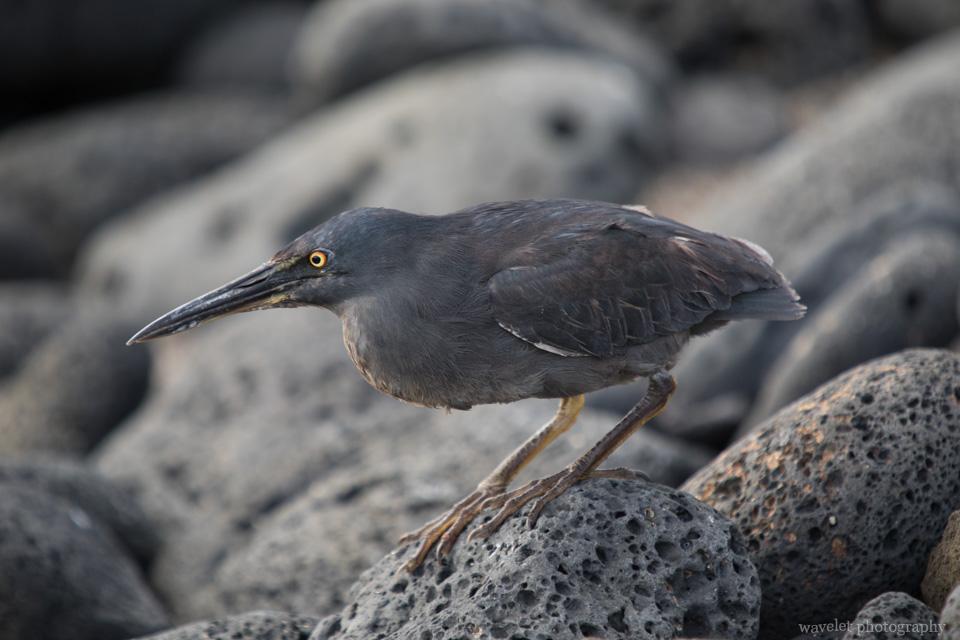 Galapagos Heron, Puerto Egas, Santiago Island