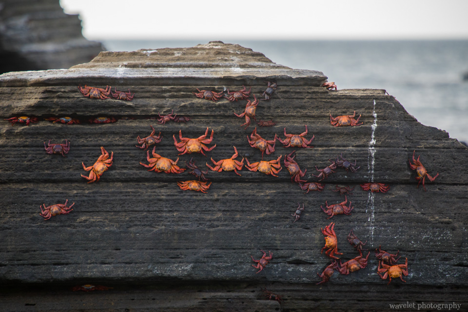Sally Lightfoot Crab, Puerto Egas, Santiago Island