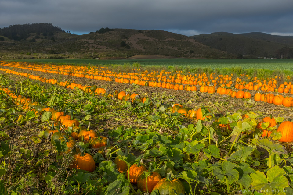 Pumpkin field by highway 1 near Half Moon Bay