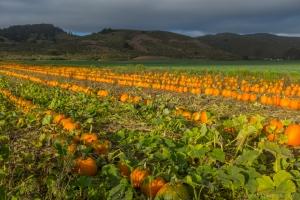 Pumpkin field by highway 1 near Half Moon Bay