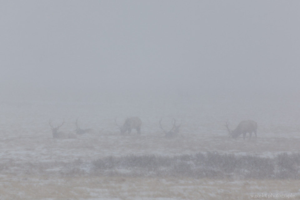 Elks in the blizzard, Wildlife Tour