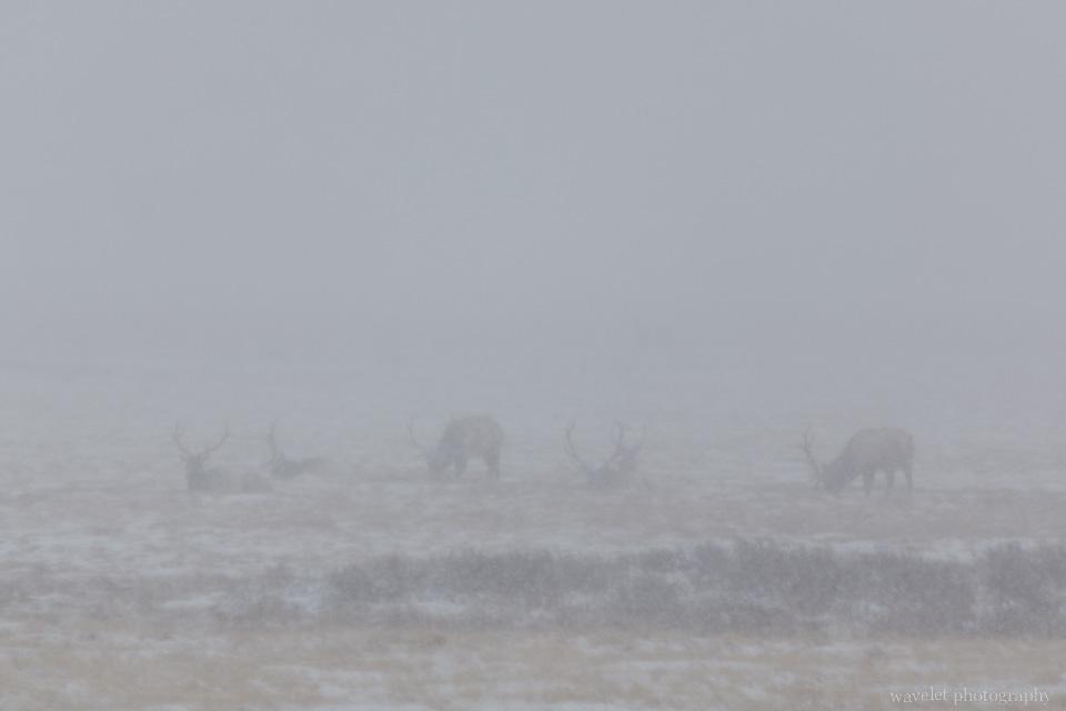 Elks in the blizzard, Wildlife Tour