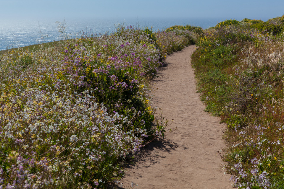 Wild Flowers along Tomales Point Trail, Point Reyes