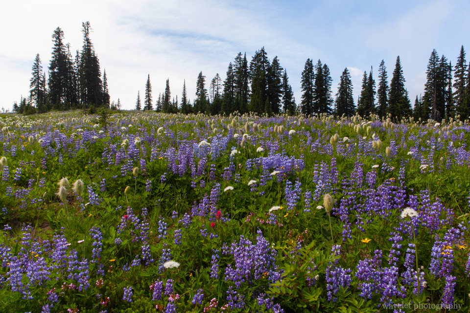 Lupine and Pasqueflower Seedhaed, Tipsoo Lake, Mt. Rainier