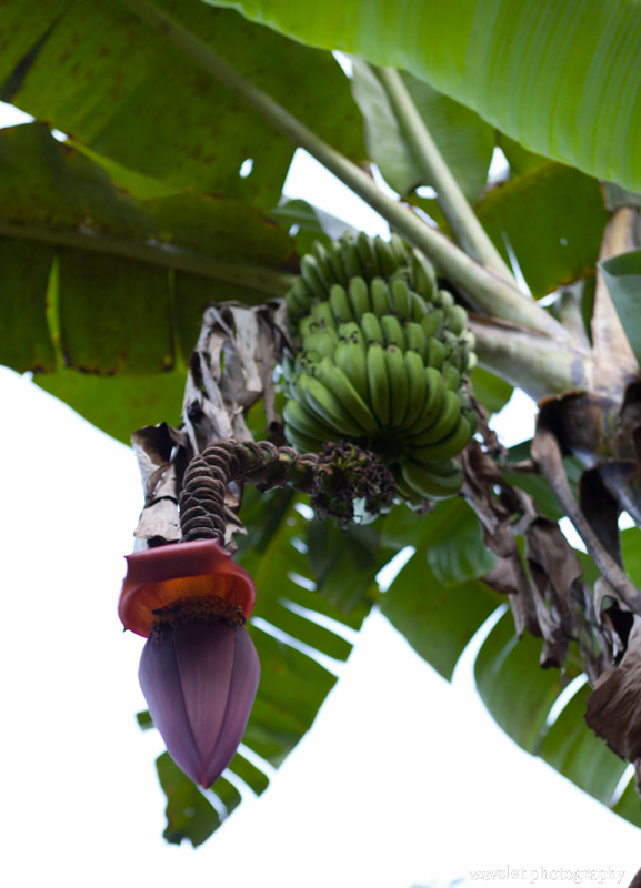 Banana Flower in Inotawa Lodge