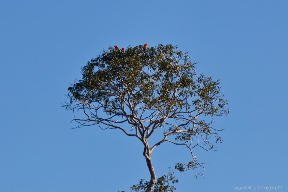 Scarlet Macaws on top of the Tree