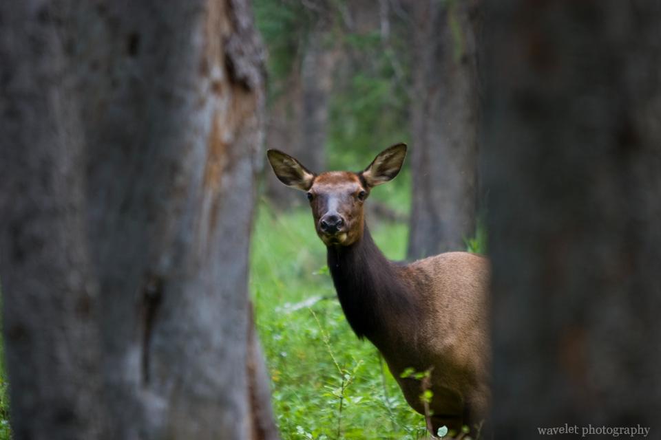 A female elk near Banff town