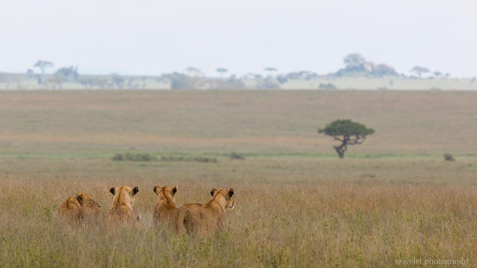 Lions, Serengeti National Park
