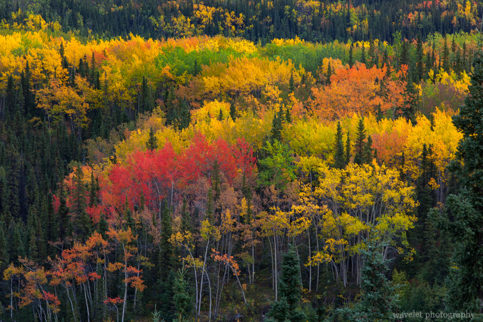 Fall color of Denali National Park, Alaska